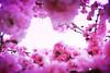 New Flowering Plum (Terry Bain) Tags: pink flower tree spring plum bloom plumtree floweringplum