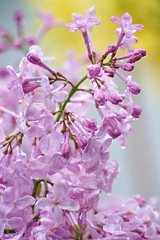 Try A Little Tenderness (bigbrowneyez) Tags: lilacs dainty tiny delightful flickrmauve dof bokeh pink purple green yellow droplets wet water rain nature pretty precious blossoms mini soft buds tender tryalittletenderness lovely pastel heartwarming uplifting hopeful