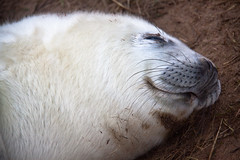 Two Week Old Baby Grey Seal - Donna Nook, Lincolnshire UK (ChrisGoldNY) Tags: uk greatbritain wild england white cute english nature animals poster europa europe european babies forsale faces unitedkingdom britain wildlife smiles lincolnshire whiskers posters albumcover seals species british bookcover creature mammals bookcovers albumcovers protected babyseals gridskipper northengland greyseals donnanook jaunted comservation chrisgoldny chrisgoldberg chrisgold chrisgoldphoto chrisgoldphotos