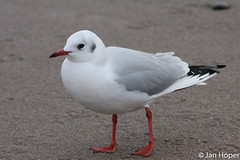 Gull (Jan Hper) Tags: larusridibundus blackheadedgull lachmwe hettemke
