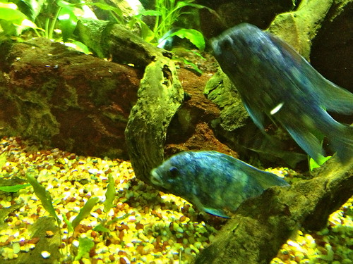 Pretty Blue Fish