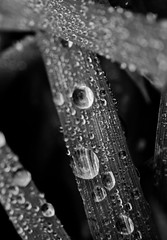 Macro of the day (Holly Norval) Tags: blackandwhite macro nature water beautiful canon waterdrops eos400d