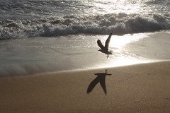 Silvergull at sunrise (kasia-aus) Tags: ocean light shadow sea nature water sunrise wings gull flight january wave australia nsw silvergull 2013