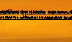 Starling Roost (Daniel Trim) Tags: sunset urban sun abstract set wales canon evening pier is european dusk mark flock starling aberystwyth 1d l usm roosting iv 1740mm f4 starlings roost murmuration vulgaris spectacle sturnus