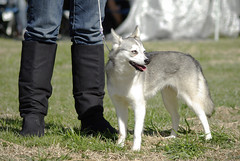 Bella (Alexandra Kimbrough) Tags: show dog toy miniature husky pentax huskies event kai klee alaskan ukc conformation akk