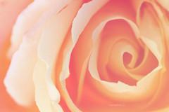 a3 +1 (Maria Dattola) Tags: italy copyright flower macro nature fleur canon eos italia  softness rosa natura reggiocalabria fiore calabria manfrotto cavalletto f67 100mmlens 1000d mariadattola