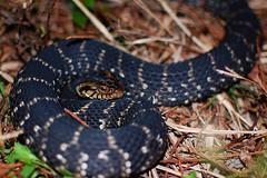 #38 Banded Water Snake (bsmity13) Tags: wild animal reptile snake fl 365 serpent evergladesnationalpark np herp southflorida watersnake nerodiafasciata bandedwatersnake nerodiafasciatapictiventris