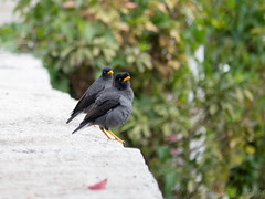 _Crested Myna_P1050755 (Ian Liao) Tags: bird lens lumix g panasonic photographs eco   vario 100300mm m43 mft gh2 lumixg gf5