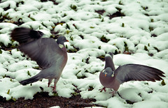 pigeons be frontin' (nic_r) Tags: snow bird birds fight wings pigeon pigeons wing feathers scrap