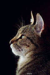 (Katarina Drezga) Tags: cats pets cat feline kittens petphotography