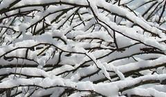 So pure, so white. (tarabunnyears) Tags: snow tree snowy limbs snowytree snowybranches branhces snowylimbs