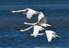 Swans in Flight (photogeoff1) Tags: summer portrait color bird beautiful birds animal animals clouds race speed river fly flying fight swan wings nikon wind wildlife feathers windy waterbird adventure swans journey traveling waterfowl airborne mute partners wildfowl
