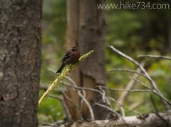 "Pine Grosbeak • <a style=""font-size:0.8em;"" href=""http://www.flickr.com/photos/63501323@N07/8503657323/"" target=""_blank"">View on Flickr</a>"