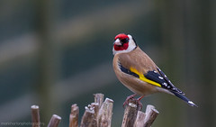 goldfinch {Explored 24th Feb 2013 #219} (markhortonphotography) Tags: red colour bird yellow canon goldfinch surrey 7d perch deepcut surreyheath cardueliscarduelis 100400l eos7d
