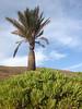 Palmera verode 1 (lanzarote rural) Tags: phoenix lanzarote canarias palmera verode kleinia