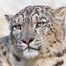 Marwell Snow Leopard EXPLORED!  Feb 27th