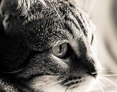 Birdwatching (J.Bower) Tags: portrait sunlight detail macro eye window monochrome cat hair afternoon birding kitty naturallight olympus 60mm staring birdwatching omd afternoonlight catportrait em5 creamtone 60mmmacrof28 olympusomdem5 olympus60mm olympus60mmmacrof28