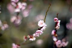 (_Count_Zero) Tags: flower ume umeblossoms autoyashinon eos5dmarkii eos5dmark2