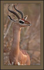 Standing tall. (Rainbirder) Tags: kenya ngc gerenuk tsavoeast litocraniuswalleri wallersgazelle rainbirder