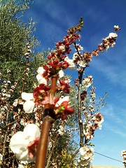 Milli Trifffa   (Jamal Elkhalladi) Tags: nature fleurs morocco maroc milli  hassi   abricotier berkane   triffa