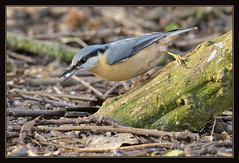 Nuthatch (Full Moon Images) Tags: bird nature woodland wildlife sandy bedfordshire reserve lodge nuthatch rspb