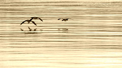 into the silence (beagle channel - argentina) (bloodybee) Tags: ocean sea reflection bird americalatina southamerica nature water argentina animal sepia tierradelfuego ushuaia island fly wings pacific wildlife wave atlantic cormorant fireland endoftheworld beaglechannel findelmundo phalacrocoraxcarbo landoffire