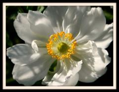 White Anemone (careth@2012) Tags: anemone perfectpetals naturesspirit unforgettableflowers thebestofunforgettableflowers livingjewelsofnature floraaroundtheworld ourwonderfulandfragileworld