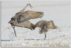 The Dance (Robin-Wilson) Tags: snow iso200 bravo colorado wildlife f8 sandhillcranes wildliferefuge earlyspring montevista matingdance 11600sec awesomeshow avianexcellence nikond800 kurtpeiserexcellence