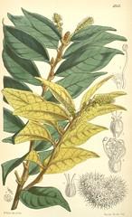 Anglų lietuvių žodynas. Žodis castanea chrysophylla reiškia <li>castanea chrysophylla</li> lietuviškai.