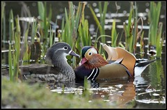 Mandarin pair at Epping forrest pond.   'They meet !' (kev350d) Tags: colour wet water birds ducks ripples mandarinducks pairing courtship