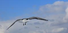 IMG_0421crop1 Free As... (Currant Bun) Tags: sky nature clouds freedom spring wings tail flight beak feathers soar seabird blackheadedgull