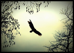 The Vulture Cometh (Gin.nay) Tags: trees winter sky usa black bird nature birds clouds canon dark march flying nc scary wings wildlife northcarolina overcast eerie creepy explore vultures carolina vulture birdwatching carnivore turkeyvulture cathartesaura hoovering chowancounty historicedenton naturewatcher canoneost3i queenannecreek
