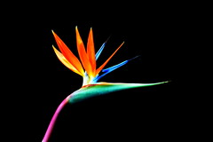 Bird Of Paradise (peasap) Tags: pink flowers blue orange plants plant green southafrica losangeles spring flora sandiego sandiegozoo strelitziareginae craneflower 2013 officialflower
