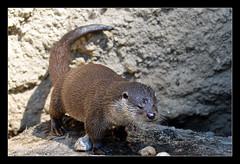 Europischer Fischotter (Philipp_R) Tags: salzburg geotagged zoo tiere sterreich otter tierpark tiergarten hellbrunn fischotter europischerfischotter geo:lat=4775684290 geo:lon=1306403400