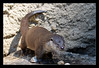 Europäischer Fischotter (Philipp_R) Tags: salzburg geotagged zoo tiere österreich otter tierpark tiergarten hellbrunn fischotter europäischerfischotter geo:lat=4775684290 geo:lon=1306403400