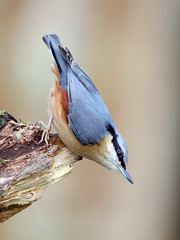 The Nutcracker (birdtracker) Tags: bird forest woodland scotland log perched nuthatch hazelnuts gardenbird bokehbackground markmedcalf markmedcalfphotography