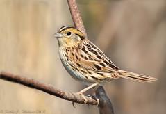 LeConte's Sparrow (Ammodramus leconteii), Barr Hammock Preserve, Alachua County, North Florida (kmalone98) Tags: wildlife aves emberizidae lecontessparrow birdphotography ammodramusleconteii kathymalone buntingsandnewworldsparrows barrhammockpreserve migratingsparrows