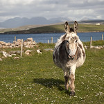 "Donkey near Aughrus <a style=""margin-left:10px; font-size:0.8em;"" href=""http://www.flickr.com/photos/89335711@N00/8596677230/"" target=""_blank"">@flickr</a>"