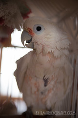 IMG_5322 (ReverieRevel) Tags: pet bird parrot boo cockatoo wetbird wetpet goffinscockatoo wetparrot wetcockatoo