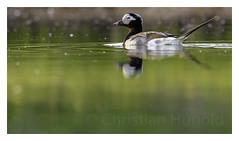 longtailed duck (Christian Hunold) Tags: bird alaska duck nome divingduck sewardpeninsula longtailedduck eisente christianhunold