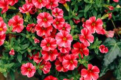 (Carl_W) Tags: flower flowershow hongkong hongkongflowershow2016 eos eos6d canon canoneos6d 6d red green nature