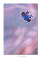 .. (Gil Gautier @GilGPhotographie) Tags: blue butterfly nikon sigma bleu papillon 180mm d4s gilgphotographie gilgautier