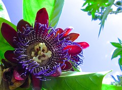 Passionate (Pufalump) Tags: passion flower purple botanical nature garden climber passiflora vines green sky blue painterly pattern stripes tendrils leaves