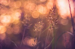 raining light (Das StadtKind) Tags: trioplan10028 meyeroptikgrlitztrioplan10028 sonya7 sonyilce7 sony a7 abstract schrfentiefe stadtkind sunset bokeh bokehlicious bavaria bokehaddicted bokehbattle plants outdoor outside dof kempten germany gold goldenhour grass europe flickr
