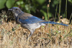 California Scrub-Jay (Aphelocoma californica) (uncle.dee9600) Tags: bird nikon jay telephoto scrubjay aphelocomacalifornica californiascrubjay nikond7200