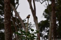 A Cute Little Bird, Earling Morning at Munnar - Breath Taking Spots (Dinesh flicks) Tags: munnar munnarphotos munnarscenaries munnartouristspot devikulam topstation amaravathidam chinnarwildlifesanctuary thekkady dinesh photography kerala