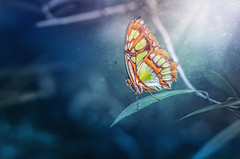Butterfly (Psztor Andrs) Tags: butterfly fine art colorful manual lens russian helios m442 58mm leaf bush nature dslr nikon hungary andras pasztor photography