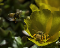 Bee_SAF4183-1 (sara97) Tags: bee copyright2016saraannefinke flower flyinginsect insect missouri nature outdoors photobysaraannefinke pollinator saintlouis towergrovepark urbanpark wildlife