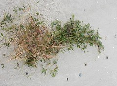 Roots Upended (mikecogh) Tags: henleybeach seagrass disturbed torn beach sand storm roots plant