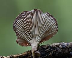 Mushroom, Pleurotus sp., Mt Pirongia, Waikato, NZ (2 of 4) (brian nz) Tags: mushroom fungus fungi oyster pleurotus mt pirongia forest park nikau walk waikato newzealand nz